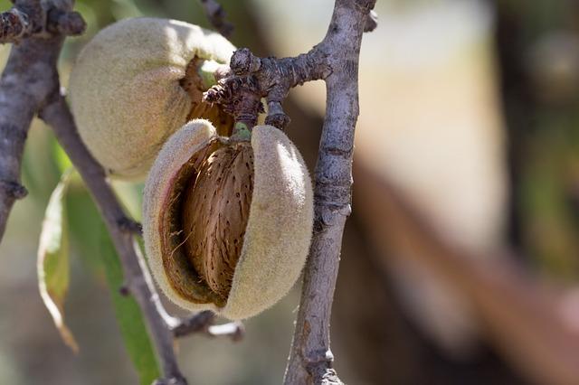 plody mandloně staré odrůdy
